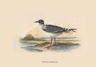 American Laughing Gull